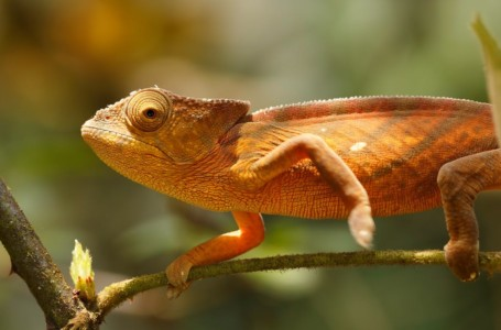 Kenyan fossil shows chameleons may have 'rafted' from mainland Africa to Madagascar